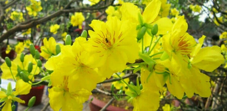 Tet yellow flowers