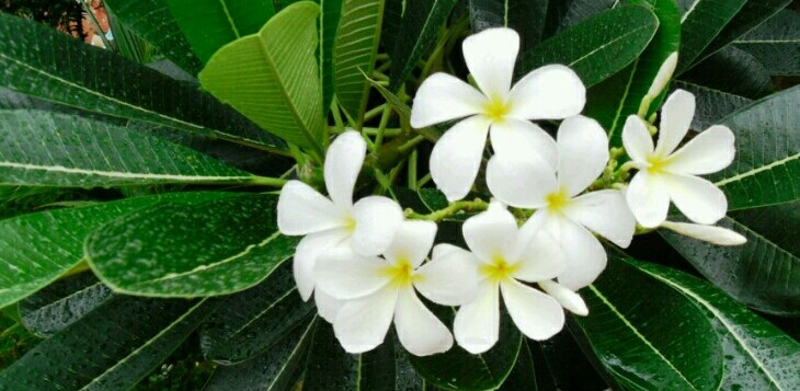 Vn white flower